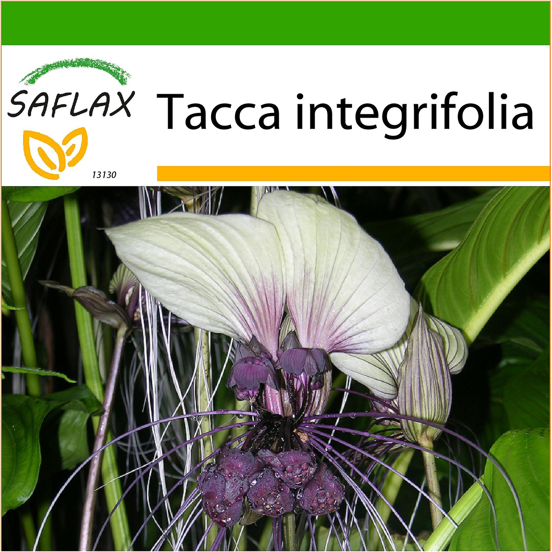 Saflax 10 seeds with soil white bat flower plante chauve saflax 10 seeds with soil white bat flower plante chauve souris mightylinksfo