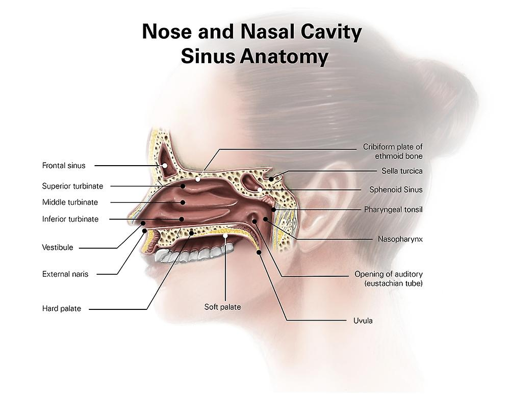Digital Illustration Of Nose And Nasal Sinus Anatomy Poster Print By