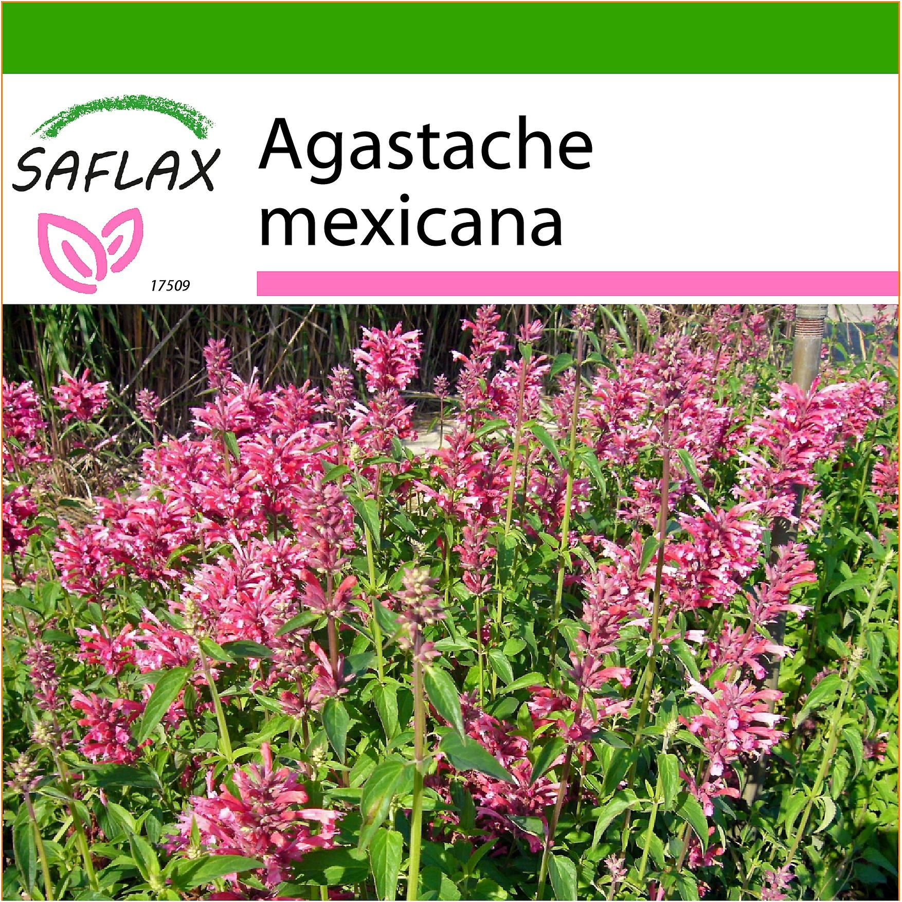 Mexican Giant Hyssop