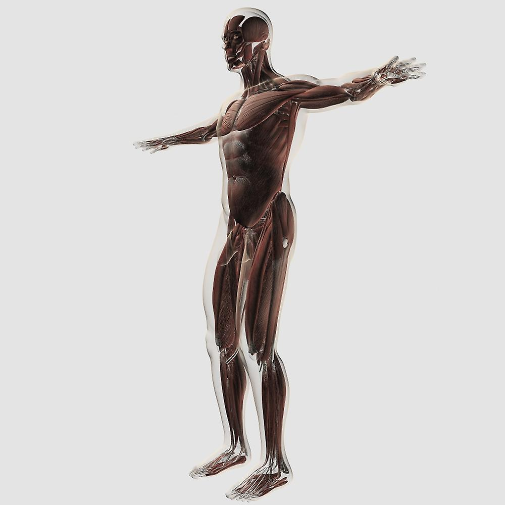 Anatomy Of Male Muscular System Side View Poster Print Fruugo