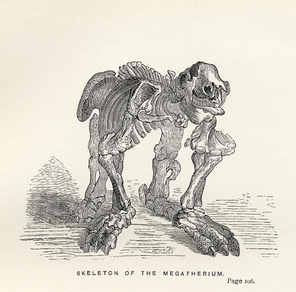 Skeleton Of The Megatherium From The Book Journal Of Researches By Charles  Darwin Also Known As