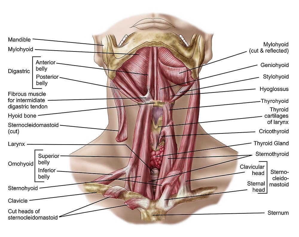 Hyoid bone anatomy