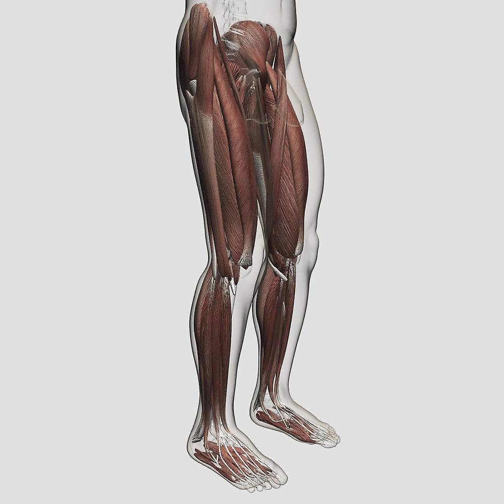 Male Muscle Anatomy Of The Human Legs Anterior View Poster Print
