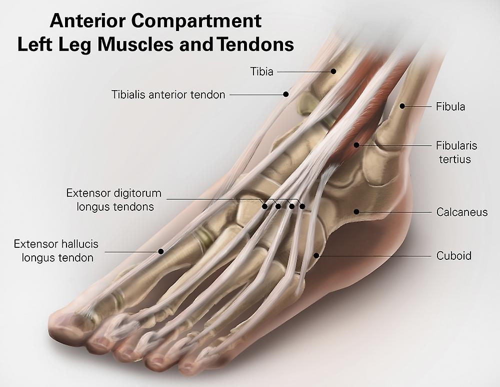 Anterior Compartment Anatomy Of Left Leg Muscles And Tendons Poster
