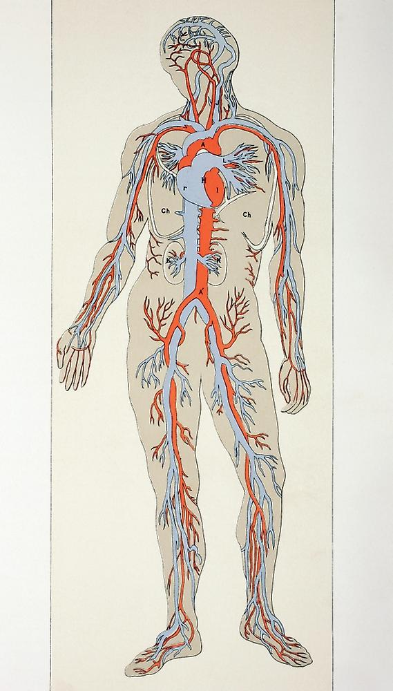 Distribution Of Blood Vessels In The Human Body Arteries Shown In