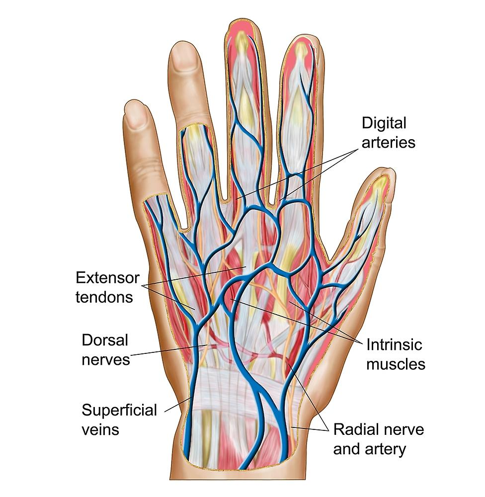 Anatomy Of Back Of Human Hand Poster Print Fruugo