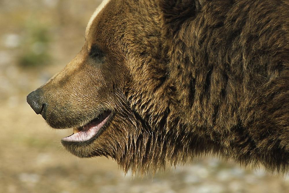 Brown bear profile