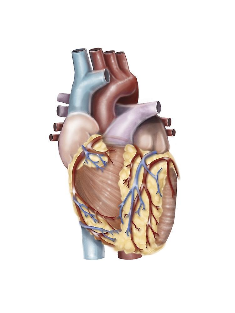 Anterior View Of The Human Heart Poster Print By Alan Gesekstocktrek