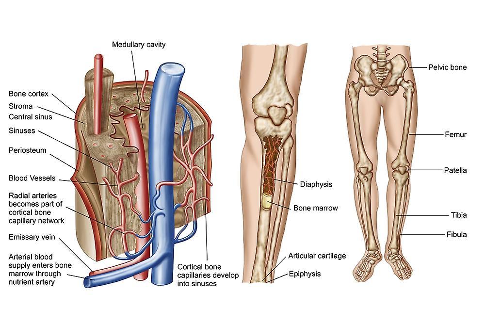 Anatomy Of Human Bone Marrow Poster Print Fruugo