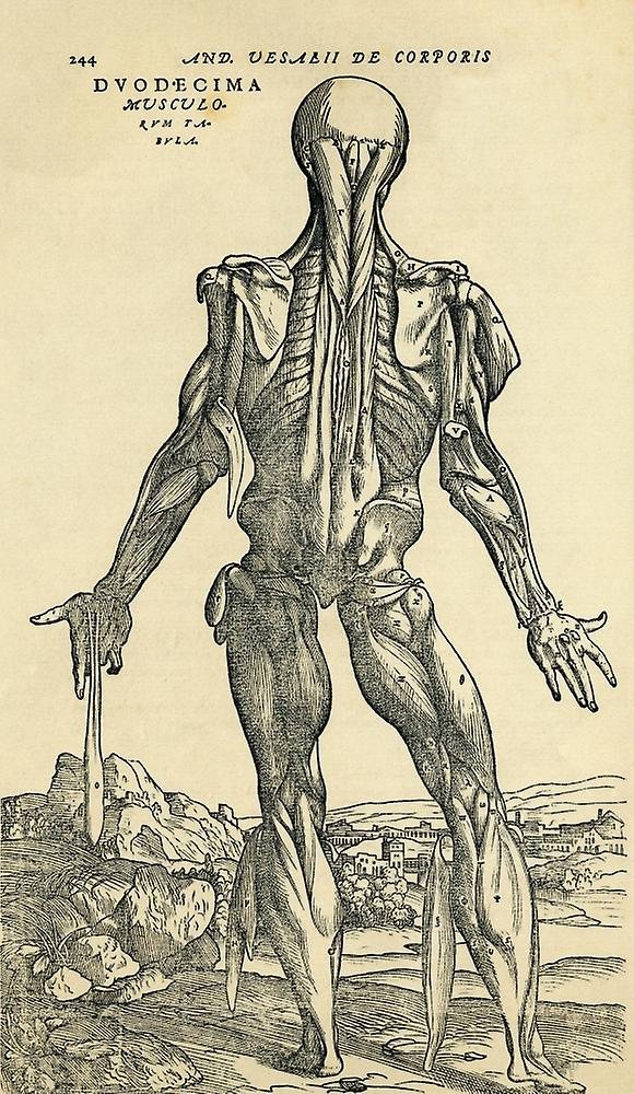 Back Of Male Human Body Anatomical Study Originally Published In De