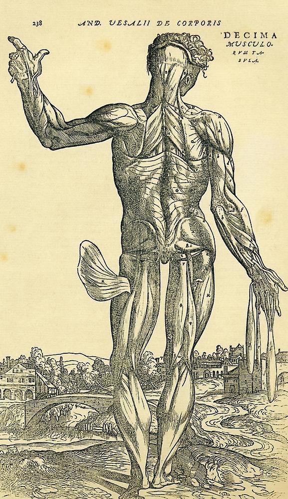 Rückseite des männlichen menschlichen Körpers anatomische Studie ...