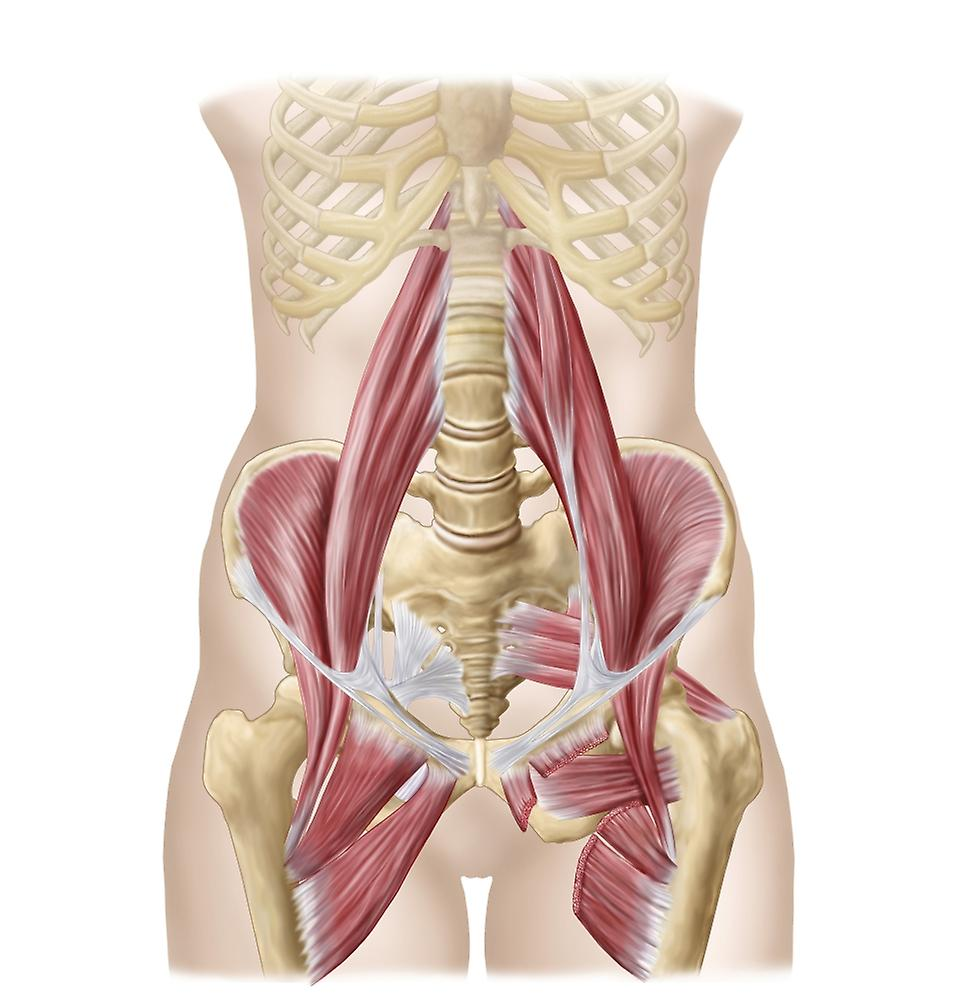 Anatomy Of Iliopsoa Often Referred To As The Dorsal Hip Muscles