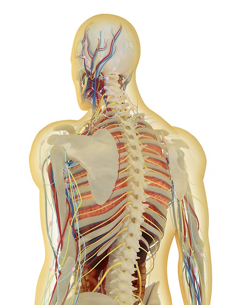 Transparent Human Body With Internal Organs Nervous System Lymphatic