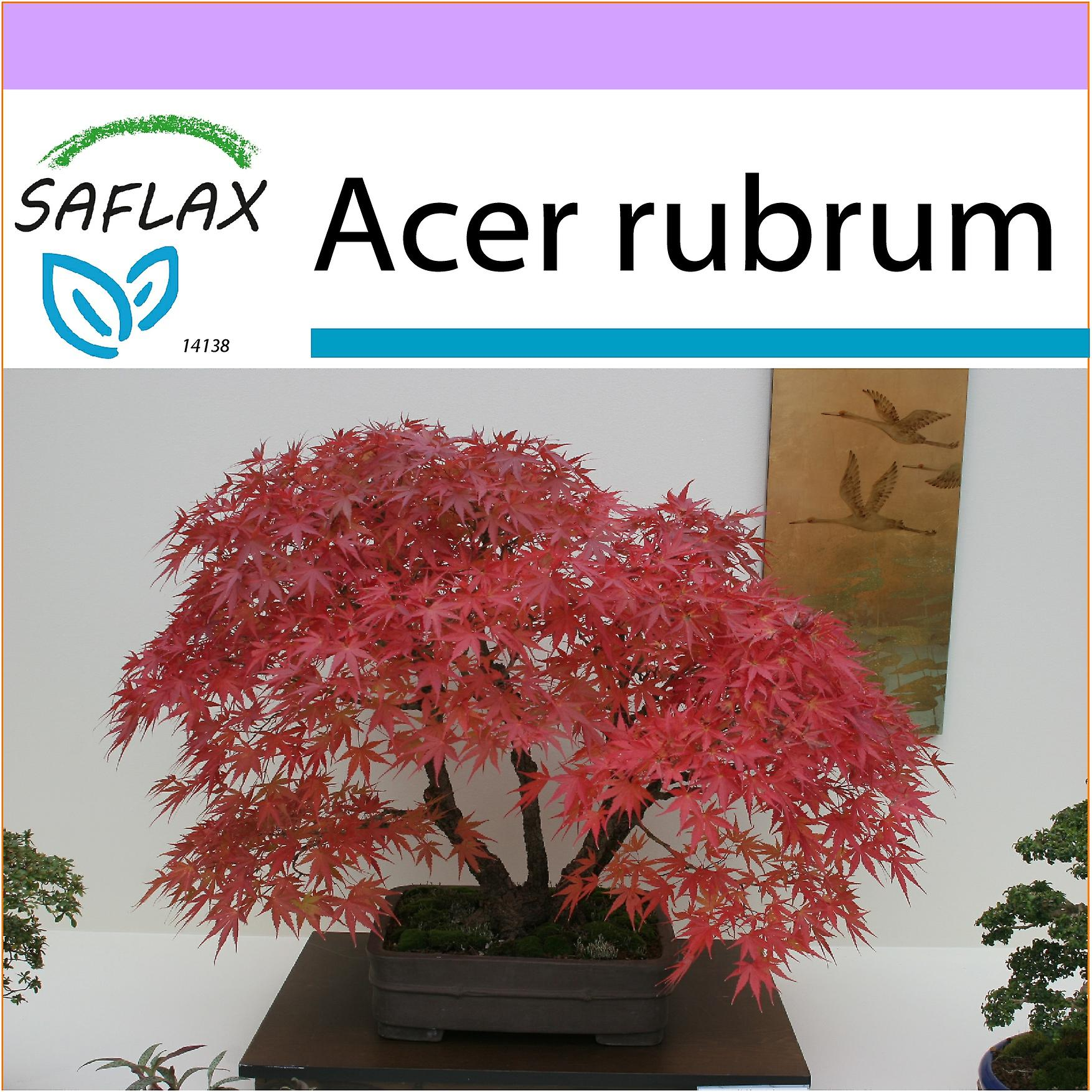 Saflax 20 Seeds Bonsai Red Maple Erable Rouge Acero Rosso