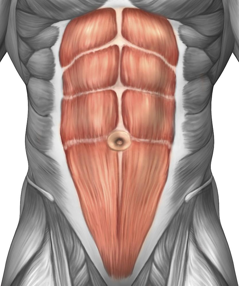 Muscle belly anatomy
