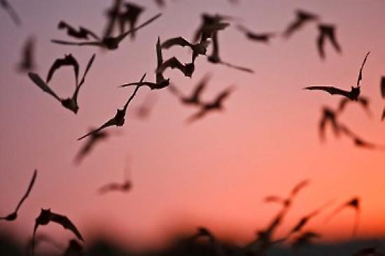 How to Catch a Bat Flying Around Inside Your House