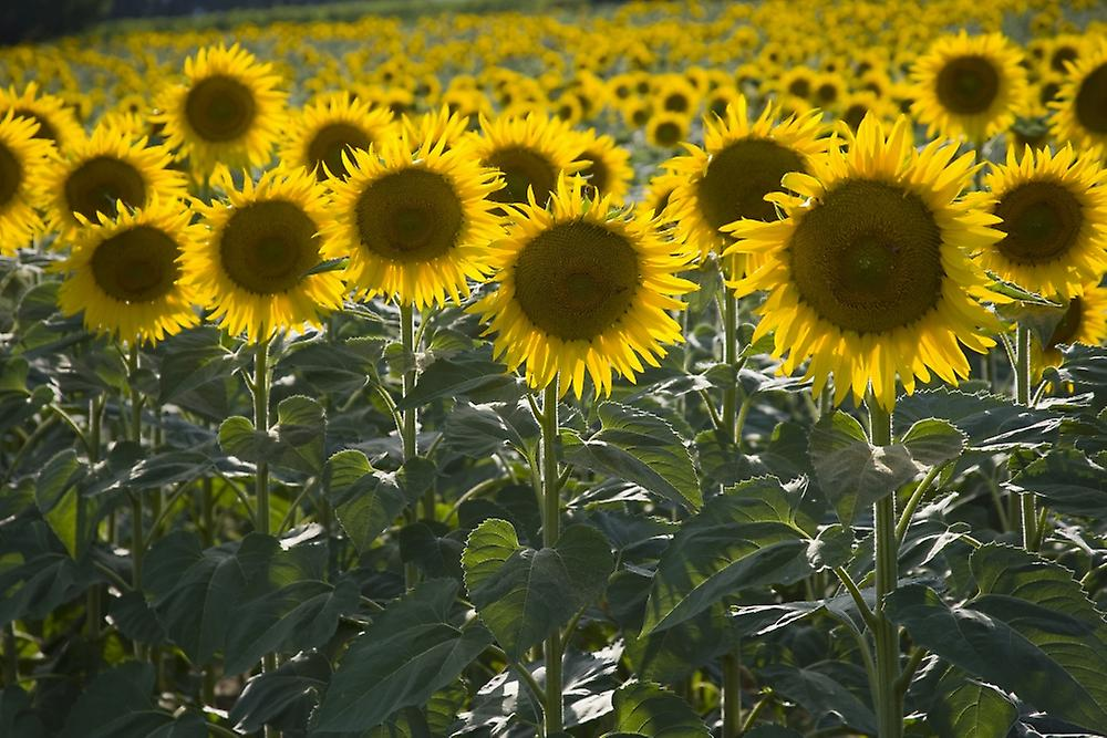 sunflower inc Sunflower health plan exists to improve the health of its beneficiaries through focused, compassionate & coordinated care get insured or become a provider today.