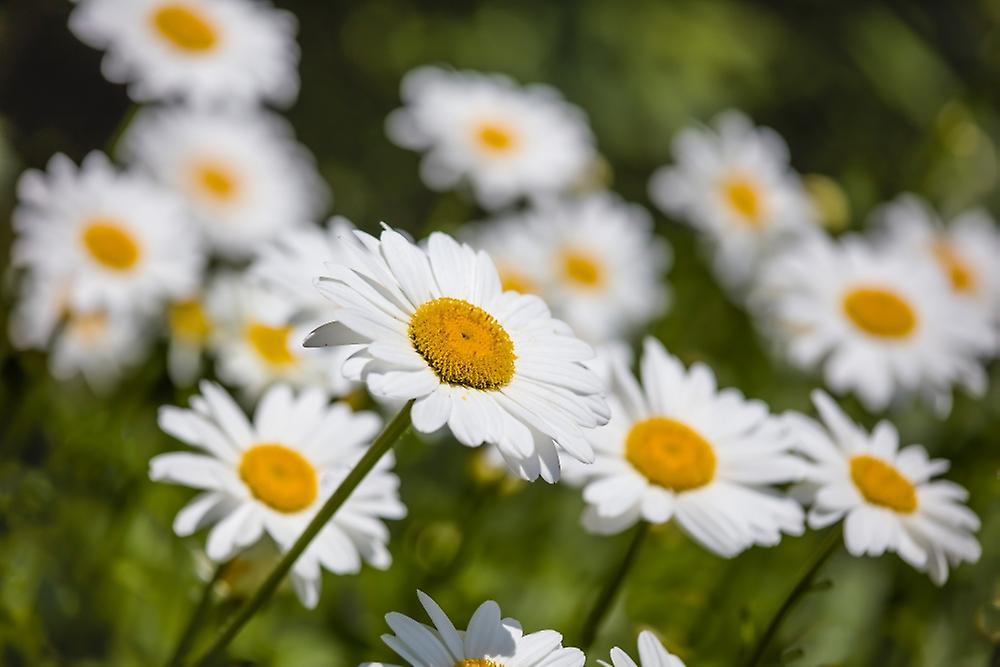 Close Up Of White Daisy Flowers Poster Print By Panoramic Images 36