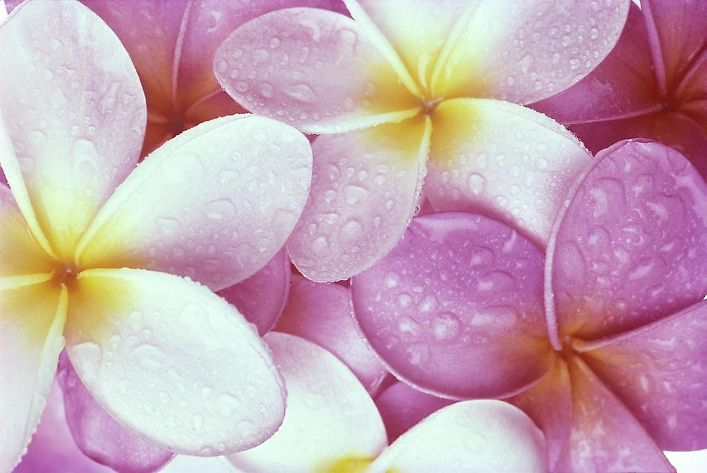 Close Up Of Pink Plumeria Flowers With Yellow Centers Water Droplets