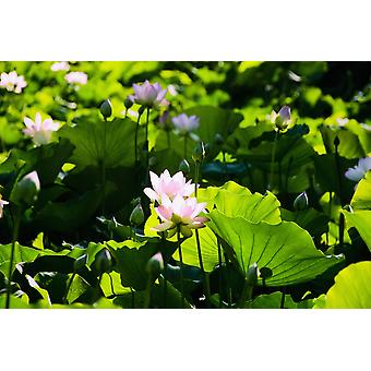 Pink Lotus Flowers Growing Among Leaves PosterPrint