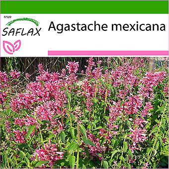 Saflax - 50 Samen - mit Boden - mexikanische Riesen Ysop - Wildform Mexikanish - Anice Menta Messicana - Toronjil Morado - Limonen - Aniskraut