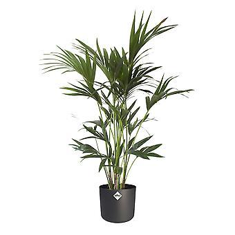 Kentia Palm in ® ELHO b.voor zachte sierpot - Hoogte 110 - Diameter pot 32.5