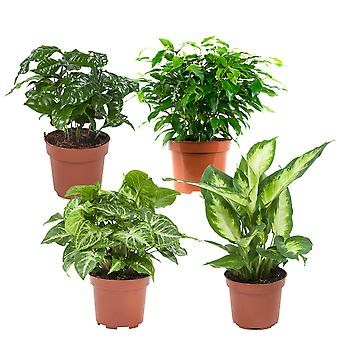 Mélange végétal de 4: Dieffenbachia Camilla - Coffea Arabica - Syngonium Podophyllium - Ficus Benjamina - Hauteur 25 cm - Pot de diamètre 12 cm