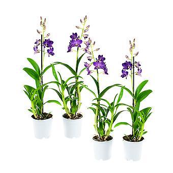 Orchideeën van Botanicly – 4 × Dendrobium Sa-Nook – Hoogte: 55 cm, 1 tak