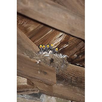 Swallow Chicks Island Of Iona Scotland PosterPrint