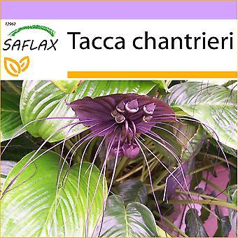 Saflax - 10 graines - Black Bat fleur - Fleur chauve-souris - Pianta pipistrello - Planta murciélago - Fledermausblume