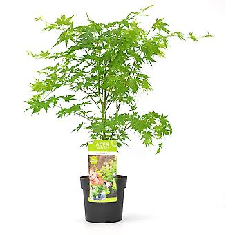 Tree from Botanicly – Emperor maple – Height: 45 cm – Acer palmatum Going Green