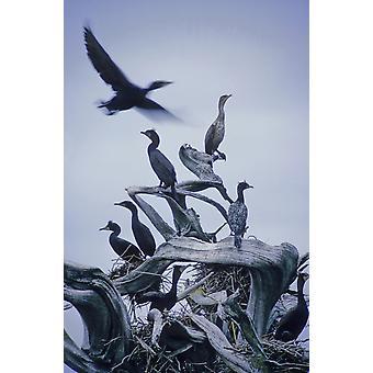 Merimetsojen lentää yllä Driftwood harmaa taivas Galiano Island Bc PosterPrint