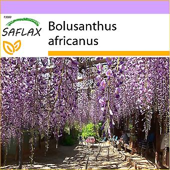 Saflax - 15 semi - albero di glicine africano - glicina arbre - Glicine africana - Glicinia africana - Afrikanischer Blauregen