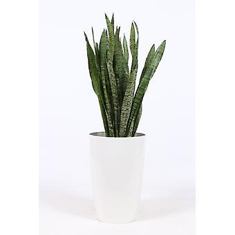 Snakeplant ↕ 30 till 120 cm finns med planter | Sansevieria Zeylanica