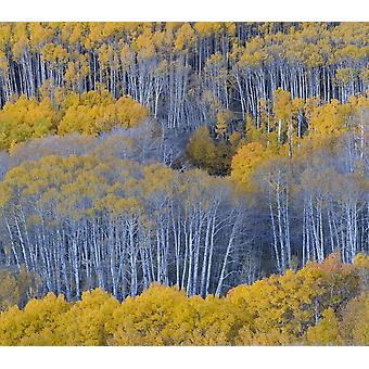 Aspen trees in a forest Boulder Mountain Utah USA Poster Print