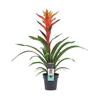 Flor de Botânica – Guzmania – Altura: 60 cm – Guzmania Variada