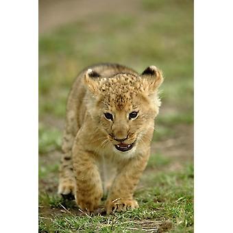 Unge løve cub Masai Mara Game Reserve Kenya plakat Print af Adam Jones