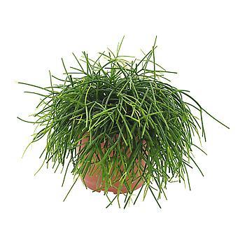 Rhipsalis baccifera cashero ↕ 22 till 25 cm finns med planter | Rhipsalis baccifera cashero