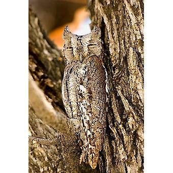 African Scops Owl in Tree Namibia Poster Print by Joe Restuccia III