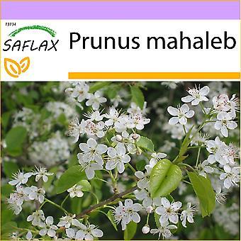 Saflax - 30 seeds - Mahaleb Cherry - Cerisier de Sainte-Lucie - Ciliegio canino - Cerezo de Santa Lucia - Felsenkirsche