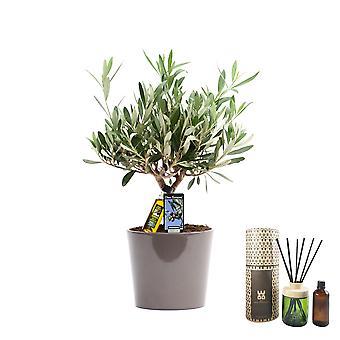 Zimmerpflanze von Botanicly – Olivenbaum – Höhe: 40 cm – Olea europeae