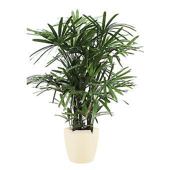 Lady palm ↕ 110 till 160 cm finns med planter | Rhapis Excelsa