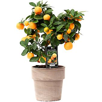 Obstpflanze von Botanicly – Calamondinorange – Höhe: 45 cm – Citrus Calamondin