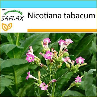 Saflax - Gift Set - 250 zaden - gemeenschappelijk tabak - Tabac - Pianta del tabak - Tabaco de Virginia - equipe Echter Virginischer Tabak