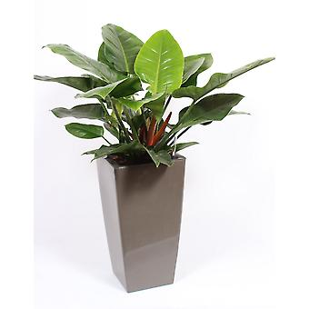 Zimmerpflanze – Baumfreund in taupefarbenem Übertopf als Set – Höhe: 120 cm