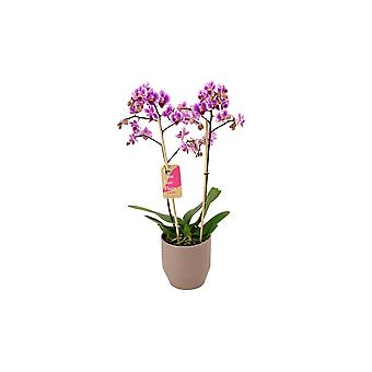 BOTANICLY Phalaenopsis Pixie - Orchidea farfalla