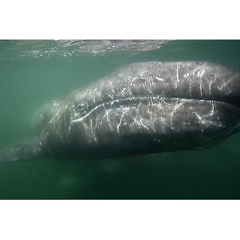 Foto subacquea di una balena grigia di calif San Ignacio Laguna Baja California Messico Poster stampa di immagini VWPicsStocktrek
