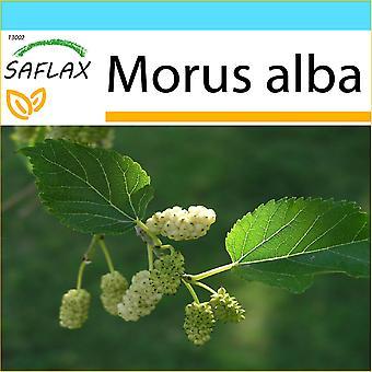 Saflax - Geschenk-Set - 200 Samen - weißen Maulbeere - Mûrier Blanc - Moro Bianco - Morera Blanca - Weißer Maulbeerbaum