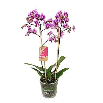 Orchidea da Botanicly – Orchidea farfalla – Altezza: 50 cm, 2 germogli – Phalaenopsis Pixie