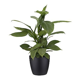 Philodendron ↕ 40 cm available with planter | Philodendron Hastatum